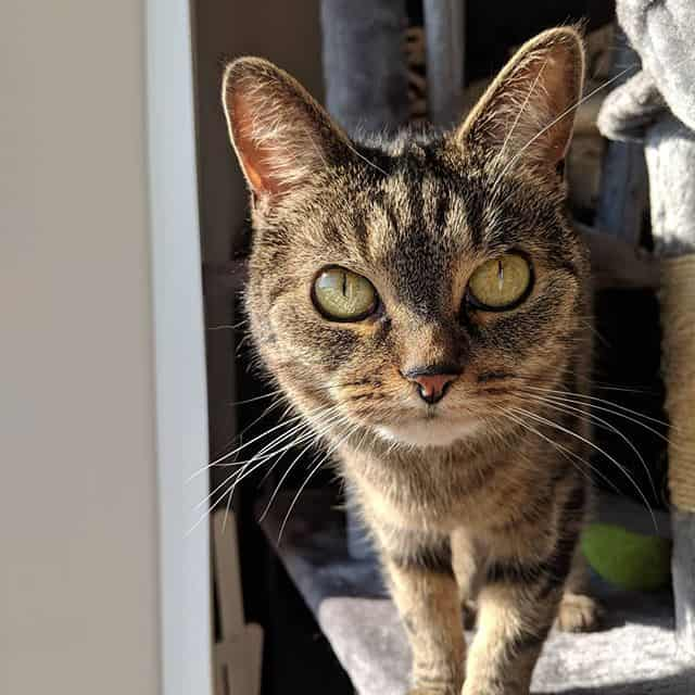 Owlie cat looking directly at the camera with her big beautiful yellow/ green eyes. Owlie is a small brown tabby cat