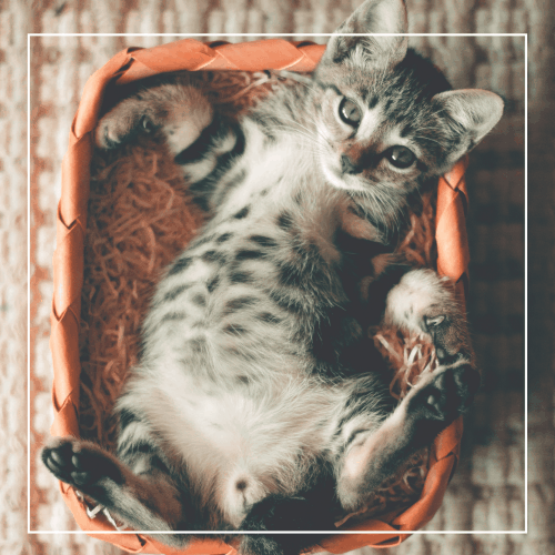 Do cats have belly button?