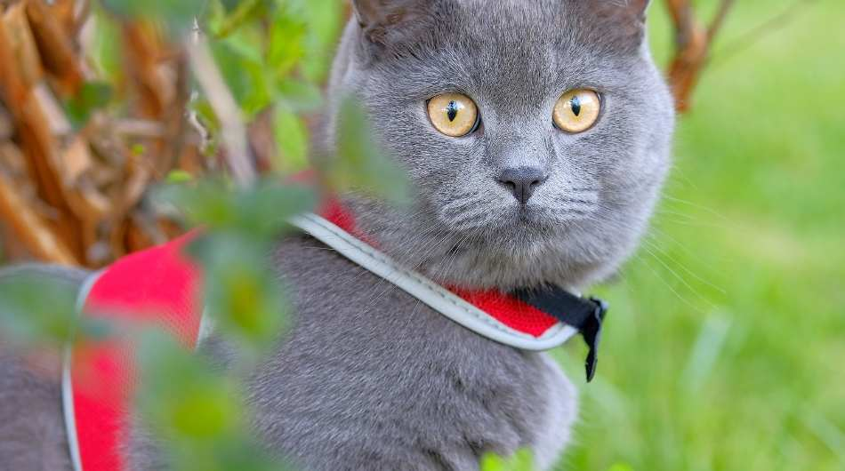 A grey British shorthair cat with a red harness on outside