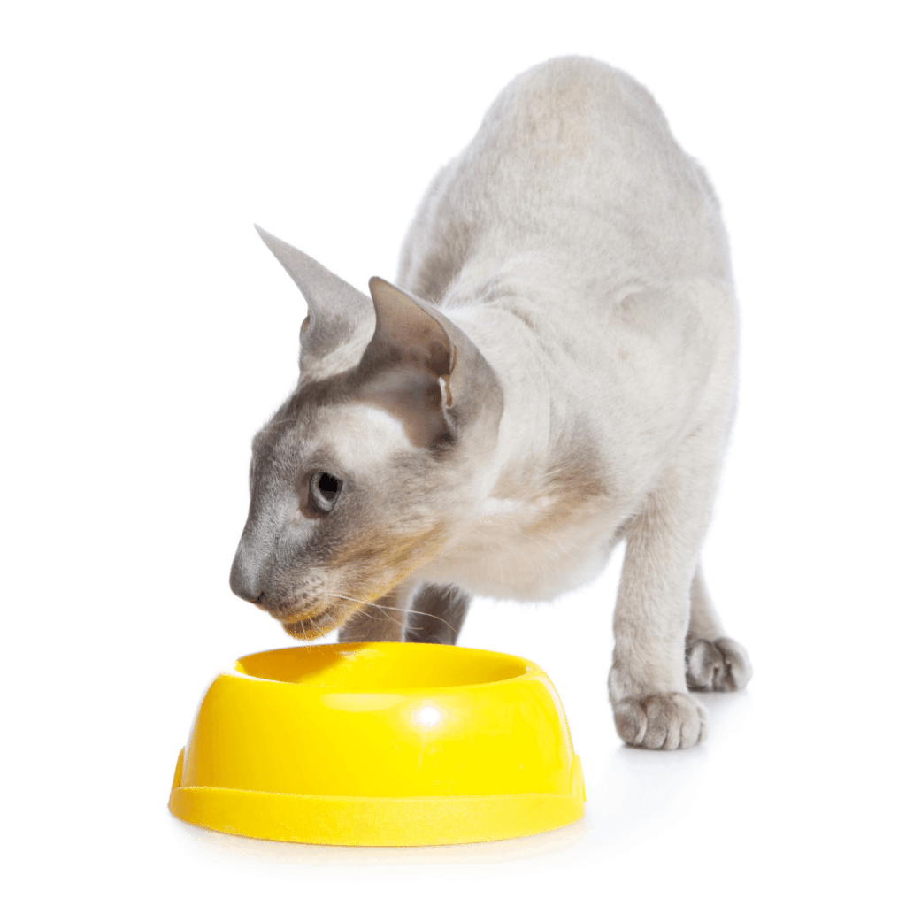Grey peterbald cat eating or drinking from a yellow bowl looking to the side