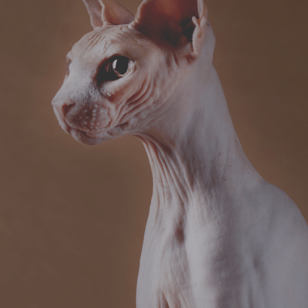 side profile for a sphynx cat