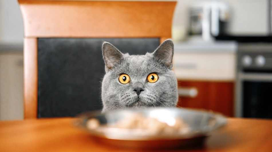 grey british shorthair cat with yellow eyes sitting at a table with a silver bowl in front of him