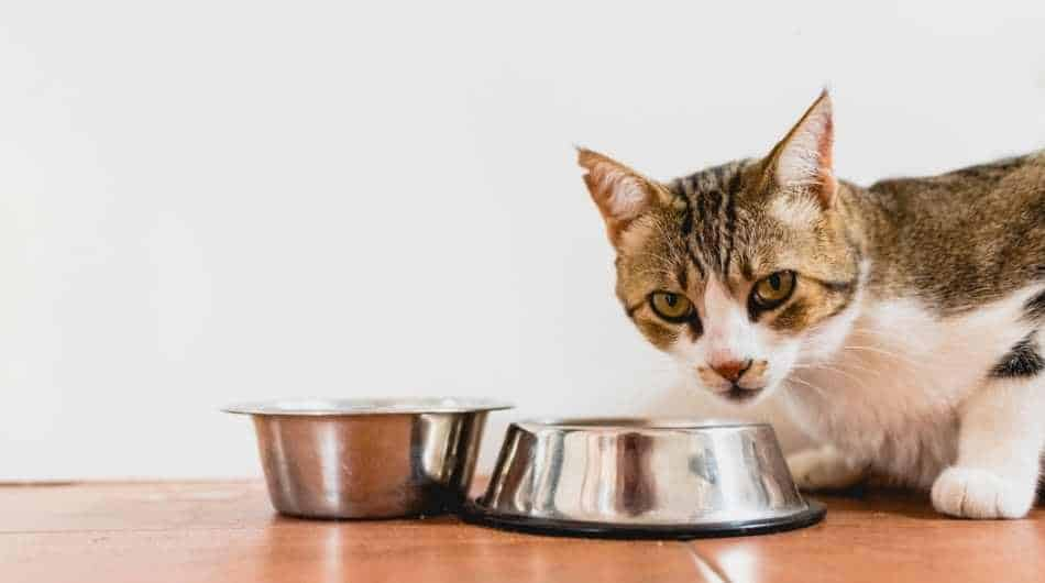 tabby cat crouching in front of two silver bowls. He is looking straight at the camera