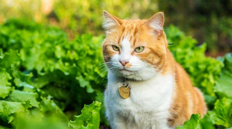 Ginger male cat sitting in a bed of lettuce