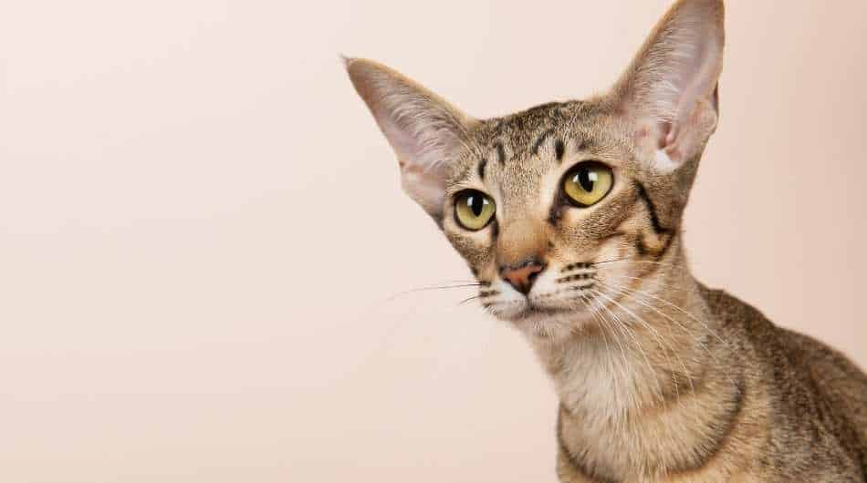 A tabby oriental shorthair cat looking past the camera