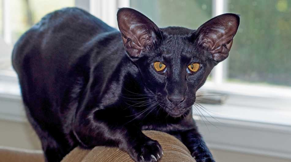 A black oriental shorthair cat with yellow eyes crawling on the top of the sofa.
