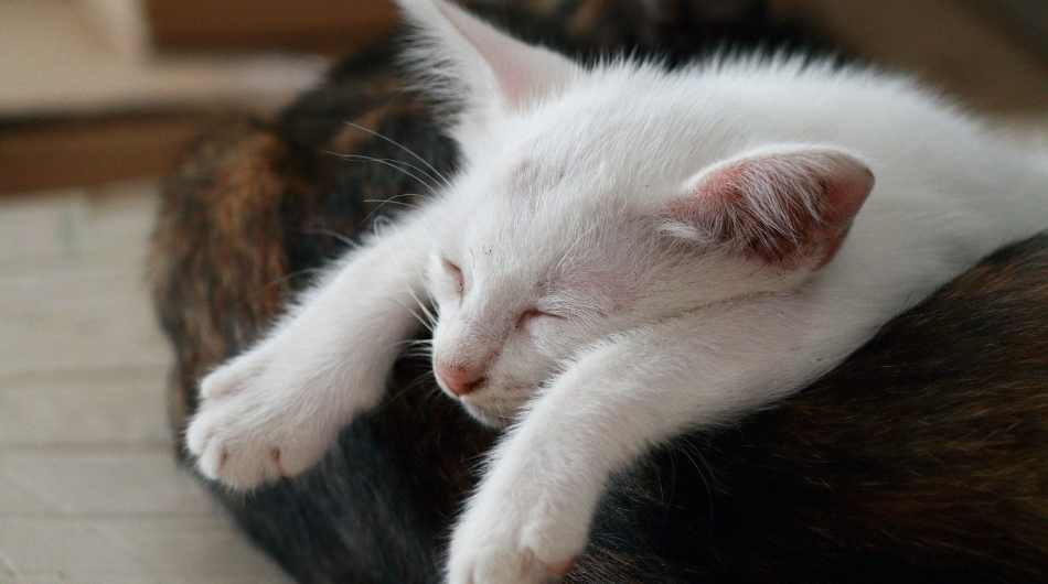 A white kitten asleep on a brown cat. His arms are stretched out in front of him