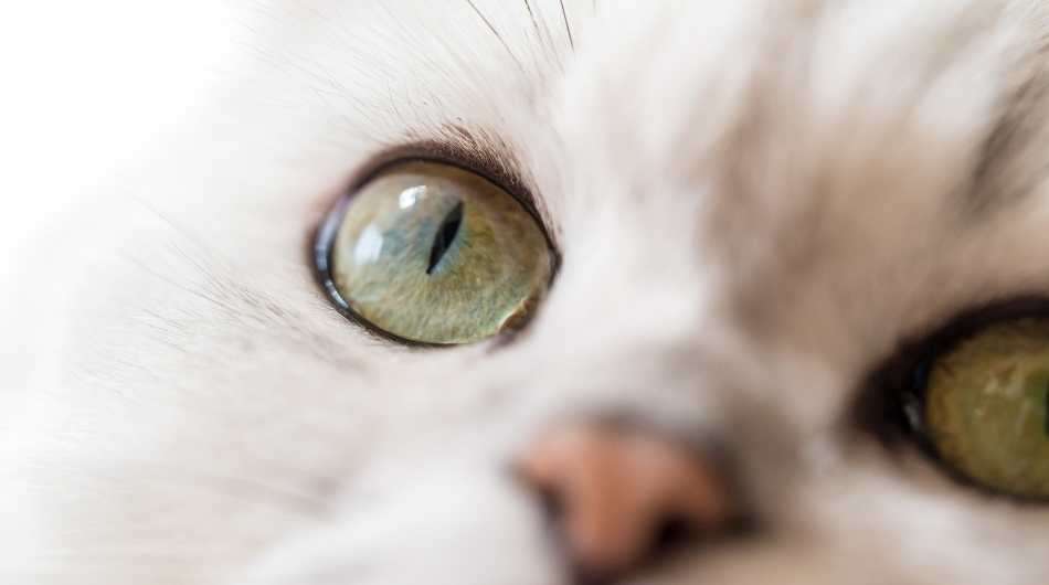 close up photo of a white cat with green eyes face