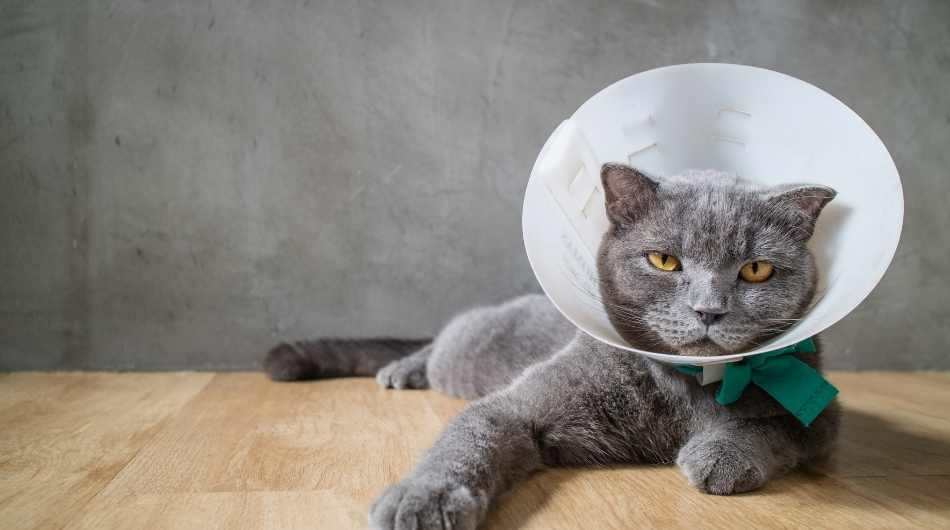 A grey british shorthair cat laying down with a cone on his head and a green bow.