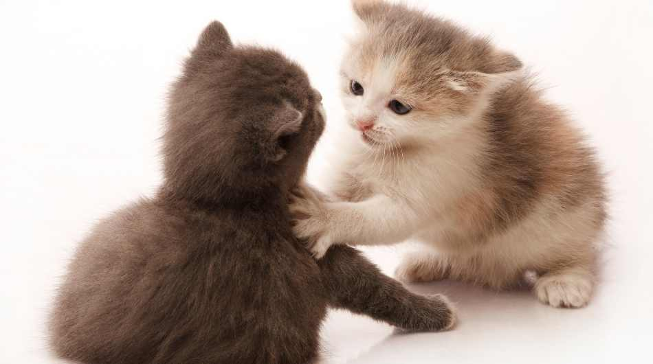 A black kitten play fighting with a white a brown kitten.