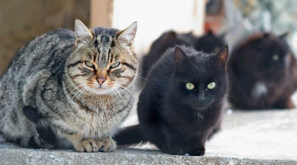 tabby cat sitting with a younger black cat. there are other black cats in the background