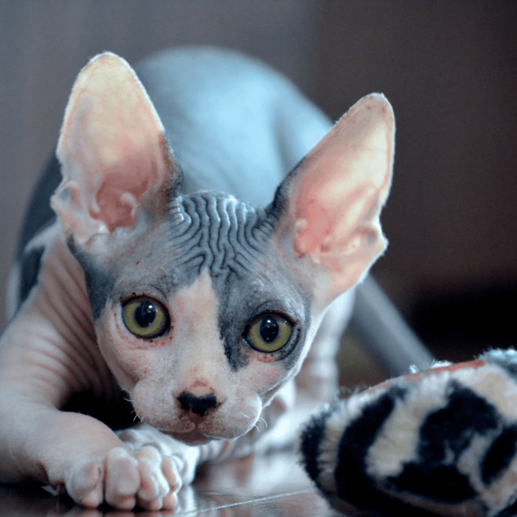 a young white and grey sphynx cat with yellow eyes