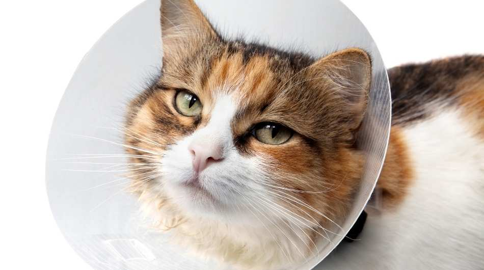 tortoise coloured cat with a cone on its head
