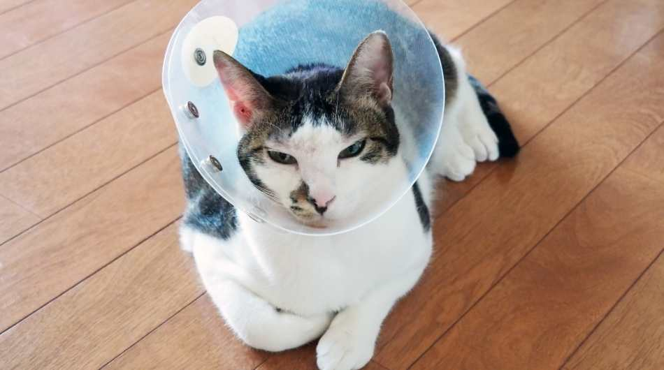 brown and white cat laying down with a cone on his head