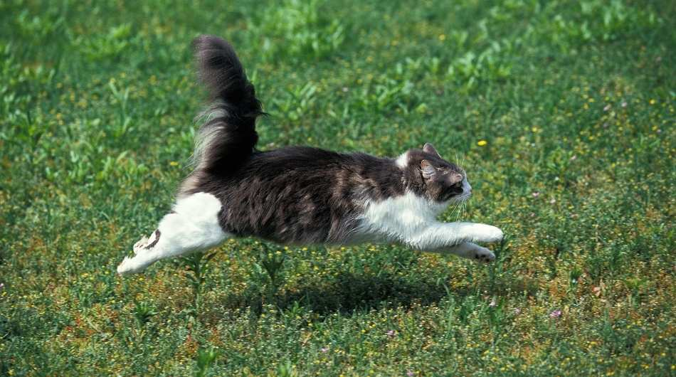 A fluffy brown and white cat running in the grass