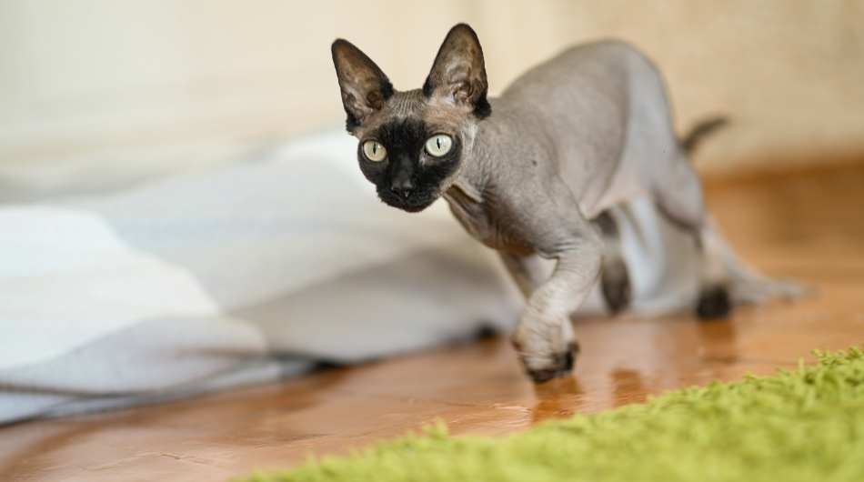 A sphynx cat running in a house next to a green rug