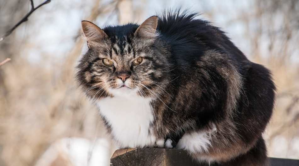 A Norwegian Forest Cat Outside sitting on a wooden beam