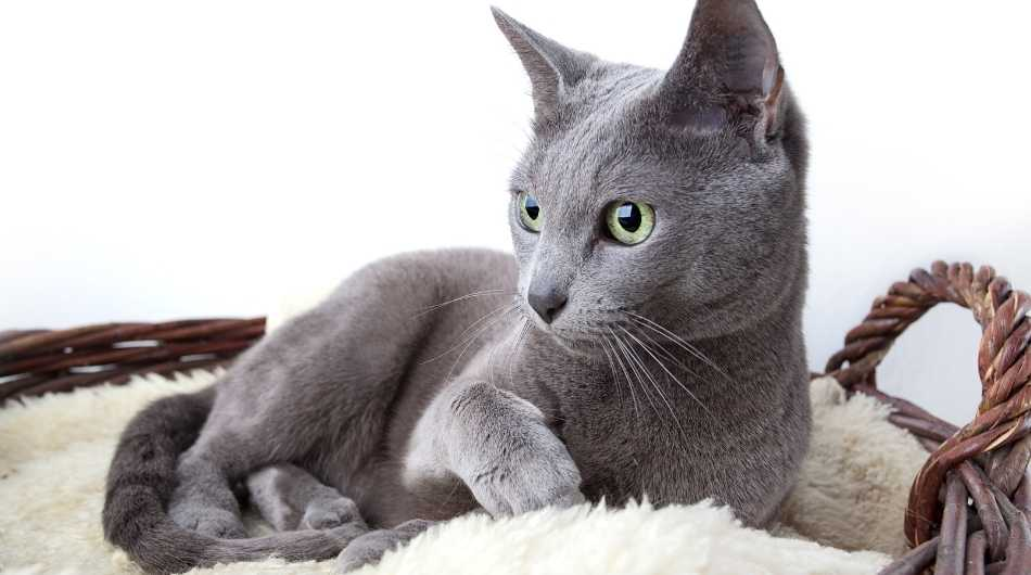 A Russian Blue Cat laying down in a wooden basket on a cream blanket