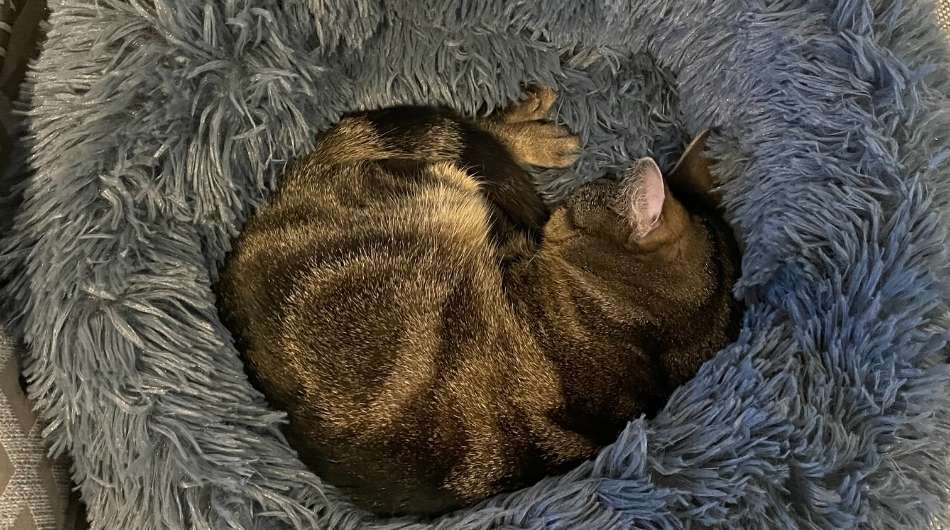A small tabby cat (Owlie) curled into a ball sleeping in a fluffy grey cat bed