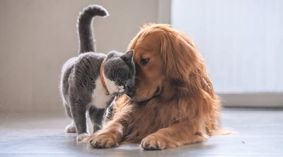 a grey and white cat rubbing noses with a long haired golden dog