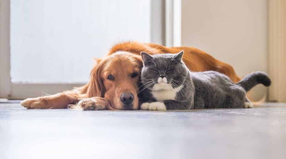 grey and white cat laying next to a golden long haired dog.