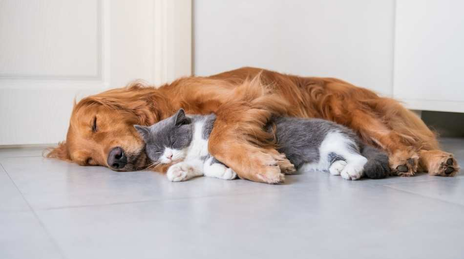 A long haired golden dog cuddling a white and grey cat on the floor.