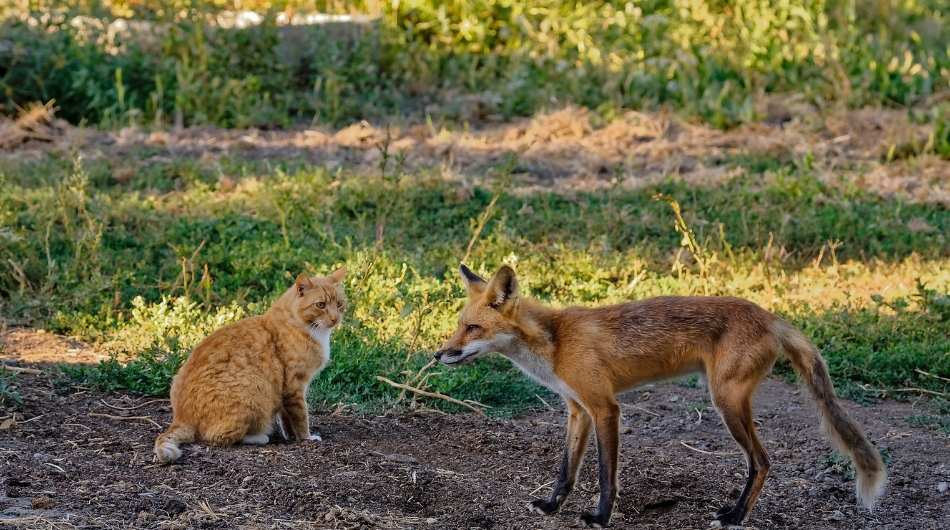 A fox standing next to a ginger cat. The cat is sitting down looking at the fox