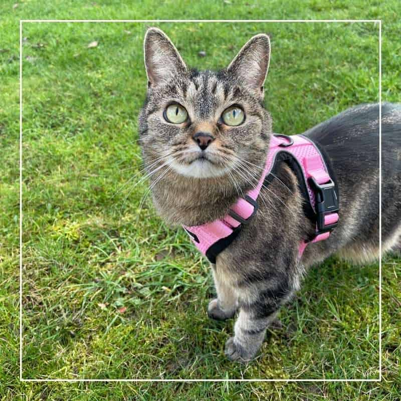 A tabby cat with a pink harness on standing on grass