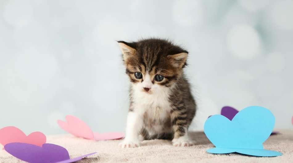 A tabby kitten sitting down next two colourful paper butterflies on the floor