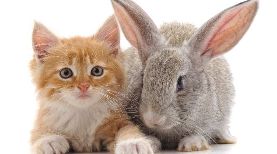 A ginger kitten laying down next to a big grey rabbit