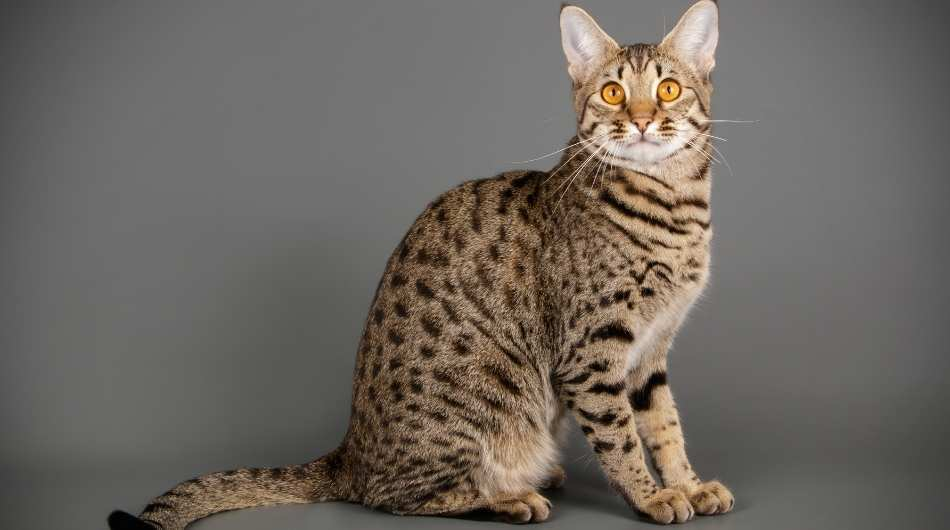 A Savannah cat sitting down against a grey wall with bright yellow eyes