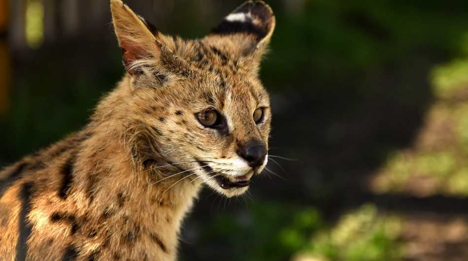 A Serval cats head shot with his ear facing backwards.