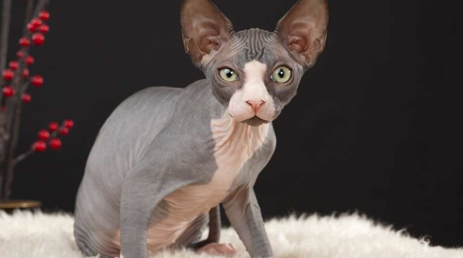 A grey and white sphynx sitting on a fluffy white blanket.