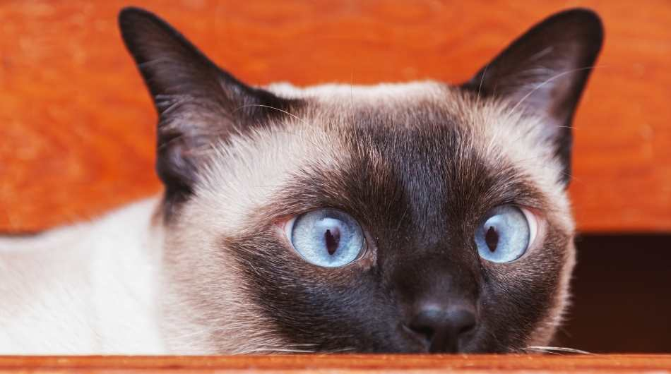 A Tonkinese cat close up of his head. He is hiding his chin under the table.