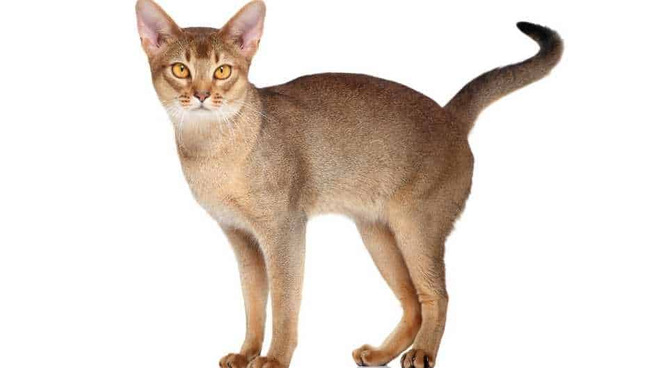 An Abyssinian cat standing side on facing the camera.