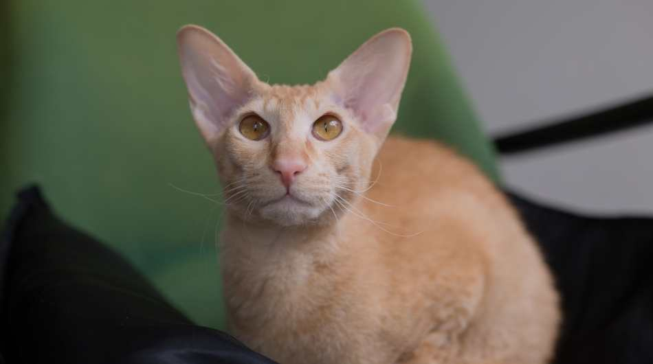 A ginger Peterbald Cat sitting in front of a green background