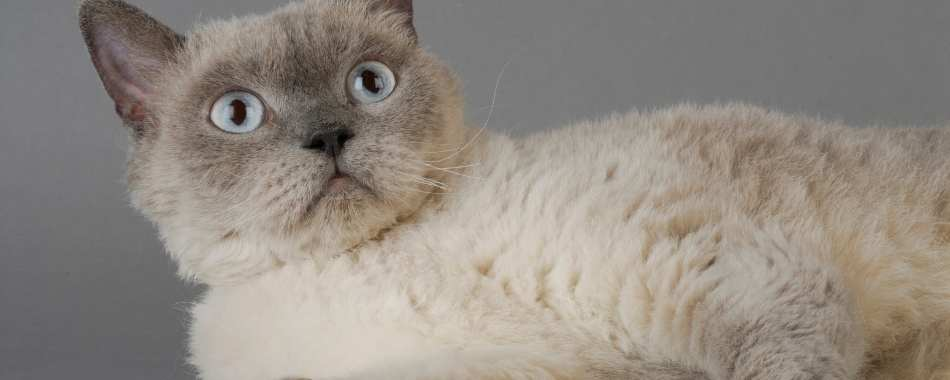 Selkirk Rex Cat laying down