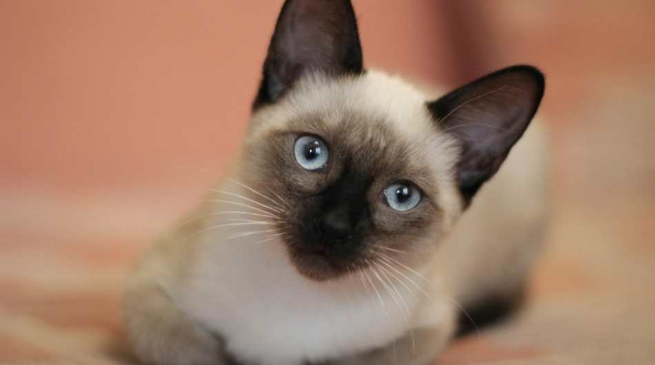 A young Siamese cat laying down looking at the camera with an orange background.
