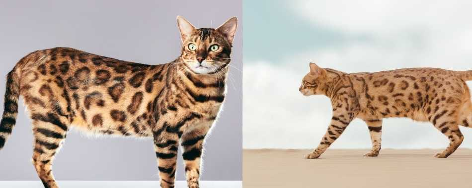 A split screen image of a Bengal Cat on the left and an Savannah cat on the right.. Both cats are standing up