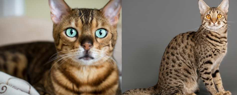 A split image of a bengal cat on the left and a savannah cat on the right hand side