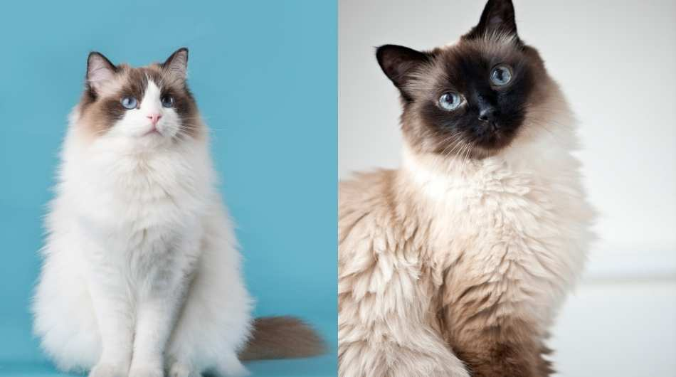A split image of a Ragdoll on the left and a Birman on the right. Both cats are sitting facing forwards.