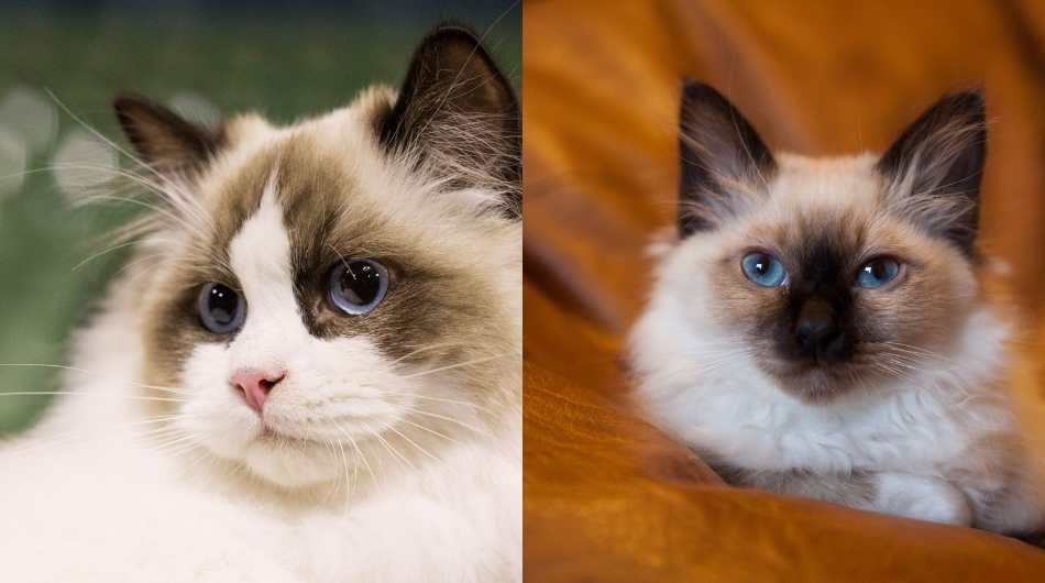 A close up of a Ragdoll with a close up of a young Birman on the right side of the image.