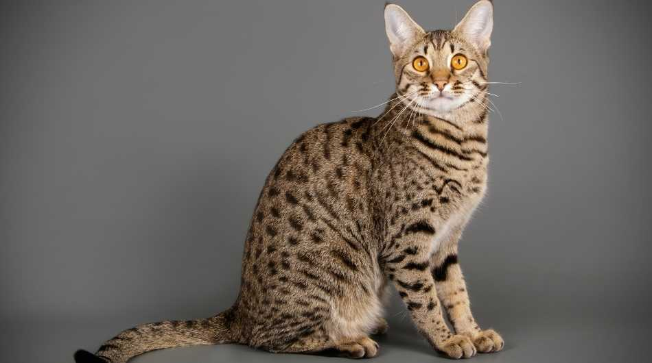 A Savannah cat sitting up against a grey background