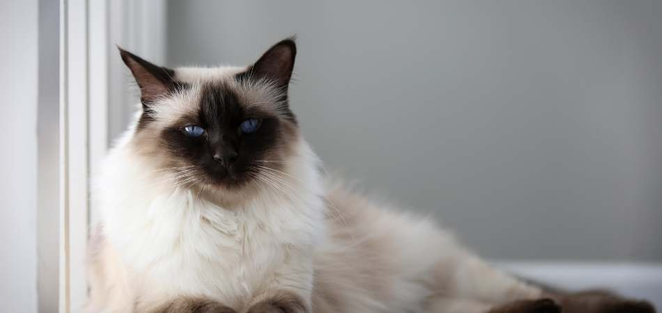 A Balinese cat laying down