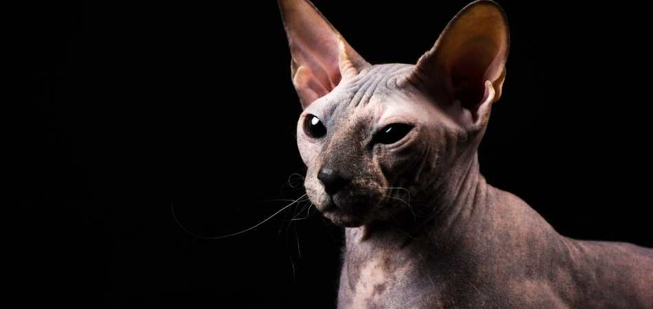 A Donskoy cat against a black background
