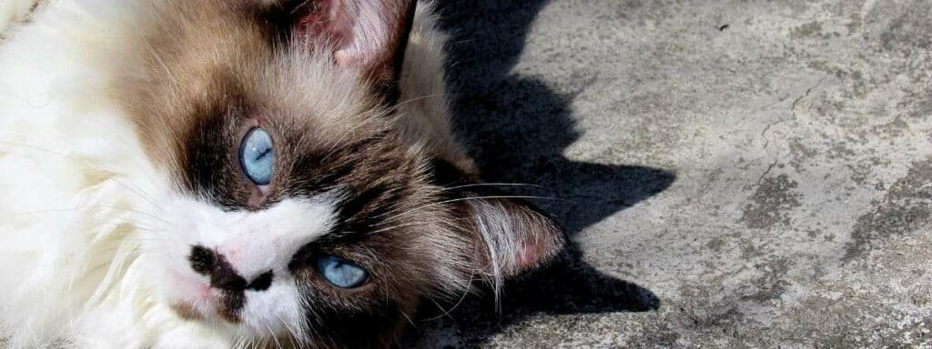 A Himalayan cat laying on the ground looking up at the camera