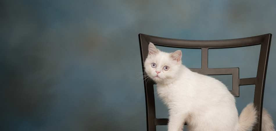 A Minuet cat sitting on a brown chair against a blue background