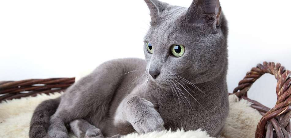 A Russian Blue cat laying down in a basket