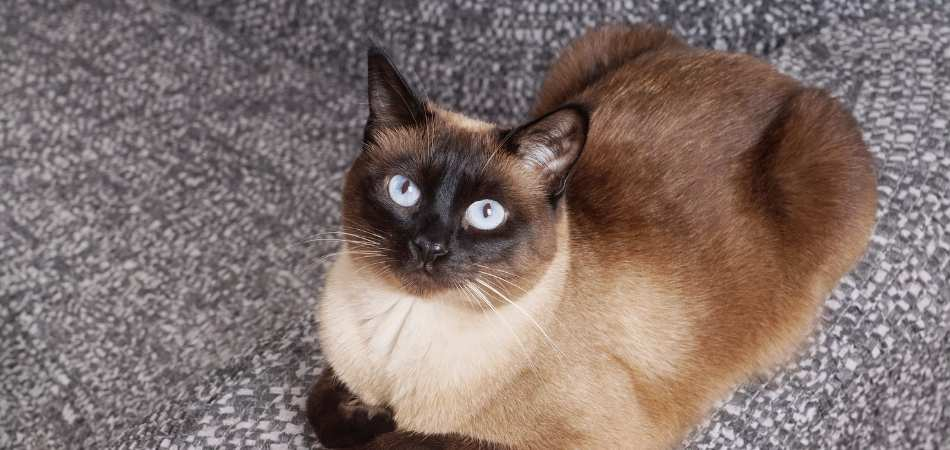 A Siamese cat laying on the floor.