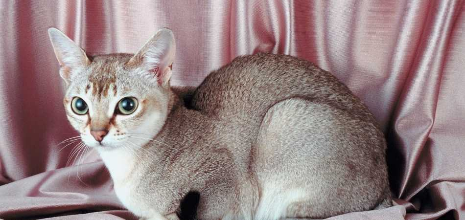 A cream Singapura cat sitting down in front of a pink curtain